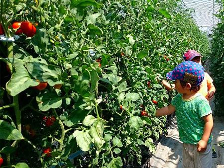 7~8月はフルーツミニトマト狩り体験。