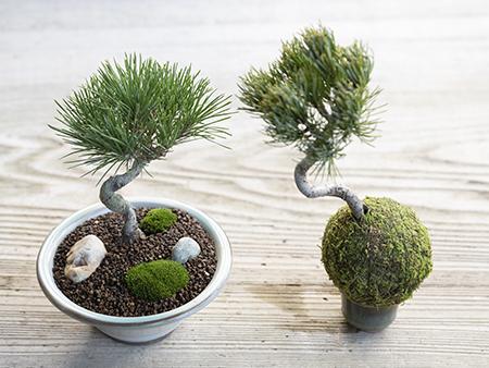 苔玉か盆景か、どちらかを選んで作れます。鉢の選び方や幹のカーブの方向、バランスの取り方などで一つずつ表情が変わるのも楽しみ。